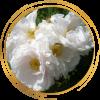 Саженец канадской розы Лак Маджеу: фото и описание