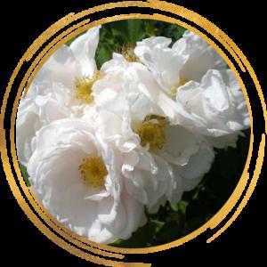 Саженец канадской розы Лак Маджеу