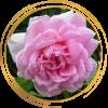 Саженец канадской розы Ламберт Клосс: фото и описание