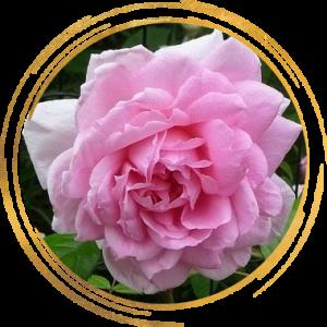 Саженец канадской розы Ламберт Клосс