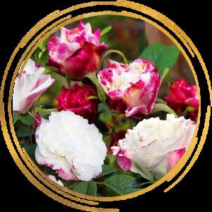 Саженец канадской розы Луиза Багнет