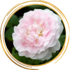 Саженец канадской розы Мартин Фробишер: фото и описание