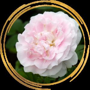 Саженец канадской розы Мартин Фробишер