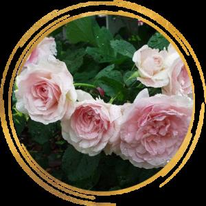 Саженец канадской розы Моден Блаш