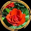 Саженец канадской розы Моден Файрглоу: фото и описание