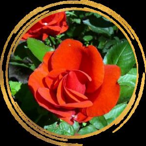 Саженец канадской розы Моден Файрглоу