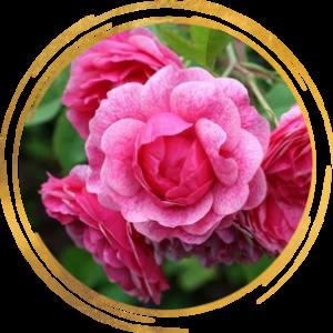 Саженец канадской розы Моден Руби