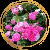 Саженец канадской розы Моден Сентенниал: фото и описание