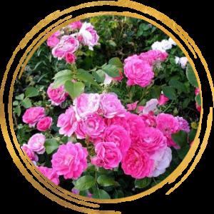 Саженец канадской розы Моден Сентенниал