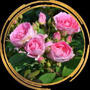 Саженец канадской розы Прейри Джой
