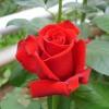 Саженец розы Каролла: фото и описание