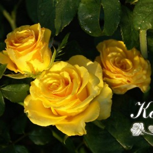 Саженец розы Kerio