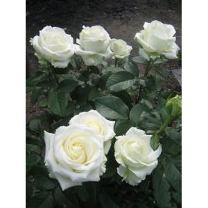 Саженец розы Клер океан