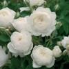 Саженец парковой розы Клэр Остин: фото и описание
