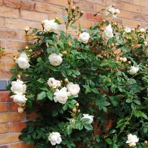 Саженец розы Клэр Остин