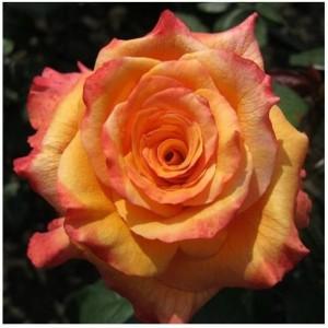 Саженец чайно-гибридной розы Конга