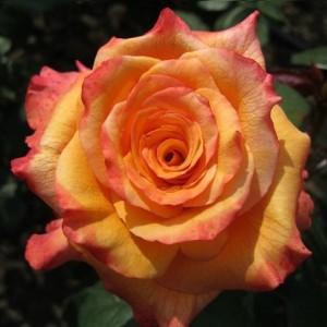 Саженец чайно-гибридной розы