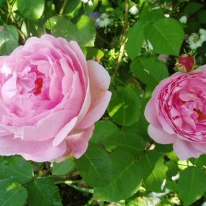Саженец розы Констанс спрай