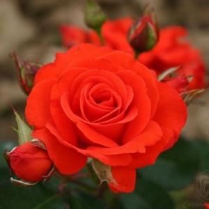 Саженец розы Корас