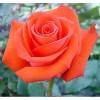 Саженец розы Корветт: фото и описание