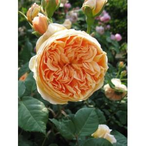 Саженец розы Краун Принцесс Маргарет