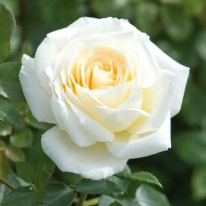 Саженец розы Крем де ля крем