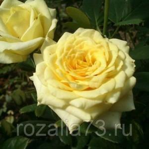 Саженец чайно-гибридной розы Кронос