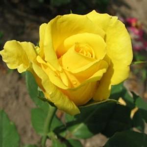 Саженец чайно-гибридной розы Ландора