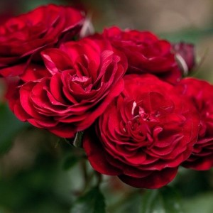 Саженец розы Лаваглут