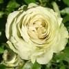 Саженец розы Лавли Грин: фото и описание