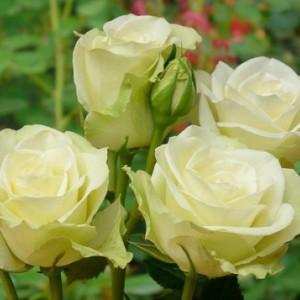 Саженец розы Лавли Грин