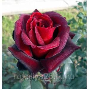 Саженец розы Лавралет