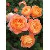 Саженец розы Леди Эмма Гамильтон: фото и описание