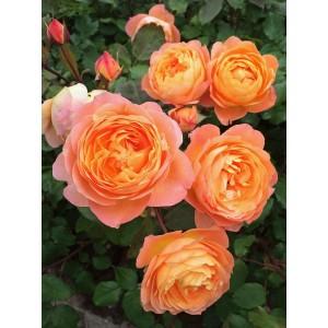 Саженец розы Леди Эмма Гамильтон
