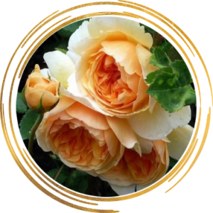 Саженец розы Леди оф Шалот