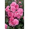 Саженец розы Les Quatre Sеаison (Лэс Кватре Сизонс): фото и описание