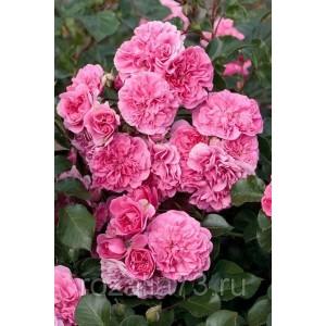 Саженец розы Les Quatre Sеаison (Лэс Кватре Сизонс)