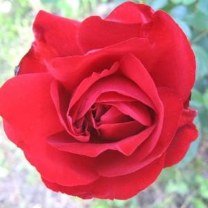 Саженец розы Лили Марлен