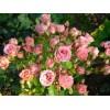 Саженец розы Little Dream: фото и описание