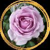 Саженец шраб розы Ля Роз дю Пети Принс: фото и описание