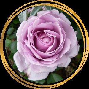 Саженец розы Ля Роз дю Пети Принс