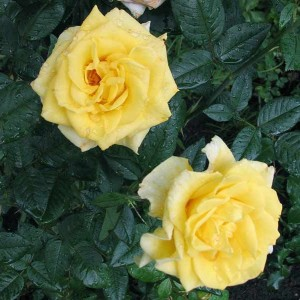 Саженец розы Мабелла