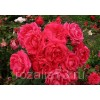 Саженец розы Маккензи Александр: фото и описание