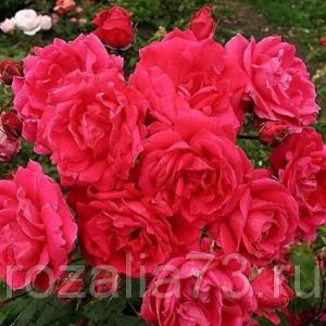 Саженец розы Маккензи Александр