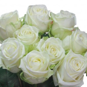 Саженец розы Маруся