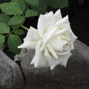 Саженец розы Маунт Шаста