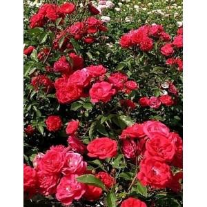 Саженец розы Майнауфойер