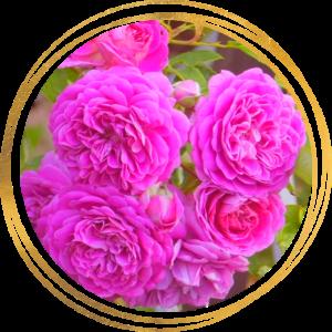 Саженец розы Мелина