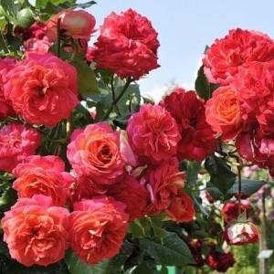 Саженец розы Мидсамэ