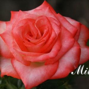 Саженец розы Milva